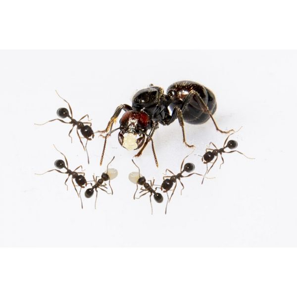 Messor barbarus colony Ant's Kingdom