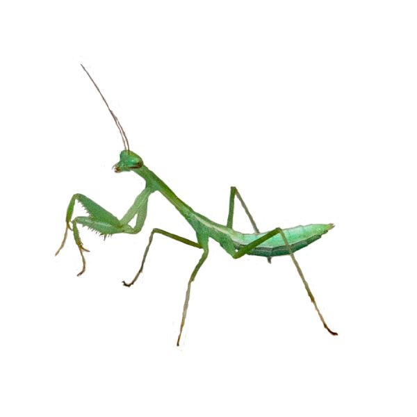 Miomantis caffra sideview