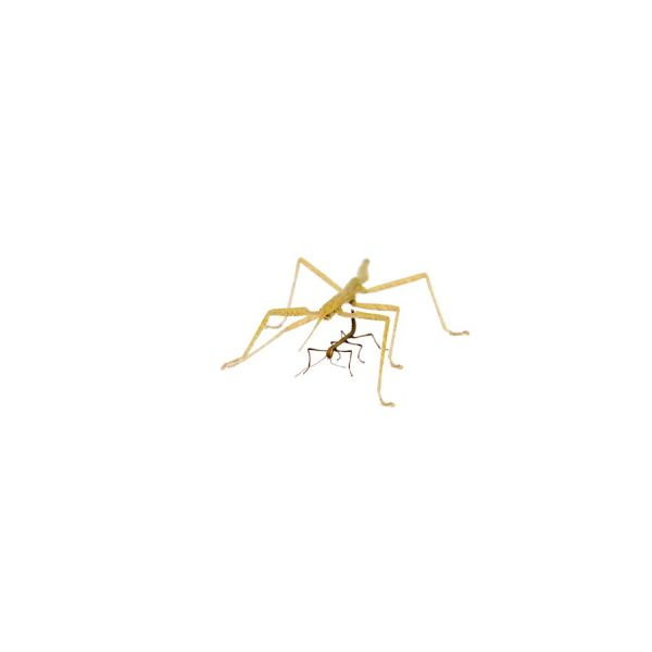 Nimfje Indische wandelende Tak, stick insect