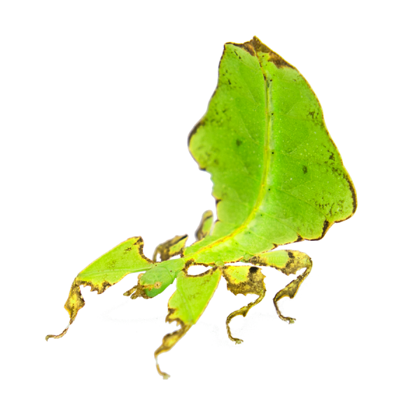 PSG 72, Leaf insects